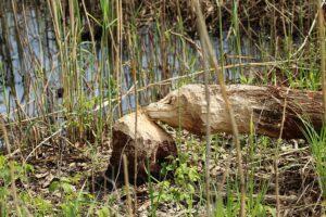 Majavat elinympäristön ennallistajina ja metsätalouden vahinkoeläiminä