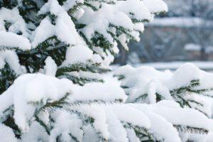 Joulukuusen saa tänäkin vuonna hakea valtion metsästä vitosella